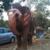 elephant-om-1
